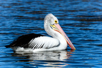 Pelican on the bay