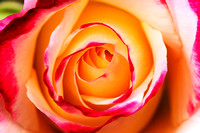 Two toned yellow and pink - Peace Rose