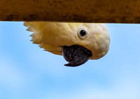 Ever feel like you are being watched? Sulphur-crested Cockatoo